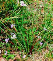 Patersonia fragilis
